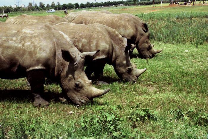 Rhinos in the Safari- Ramat Gan - Israel